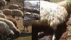 Chp'li Tanal,Hayvanları Aç Bıraktıran Tigem Ve İki Bakanlığı Şikayet Etti