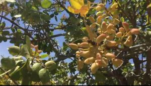 Urfa'da Yeşil Fıstık Hasadı Başladı